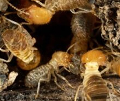 Termites - Pest control services in Bolivar, OH and Canton, OH
